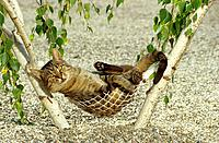 tabby domestic cat _ lying in hammock