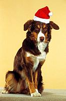 Border Collie with Santa Claus cap