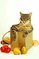 tabby domestic cat in shopping bag