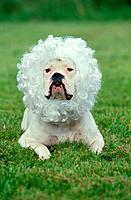 American Bulldog with wig