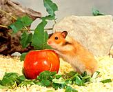 golden hamster _ with apple / Mesocricetus auratus
