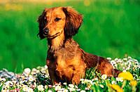 long_haired dachshund _ on meadow