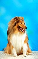 Collie _ sitting _ cut out