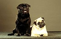 two pugs _ cut out