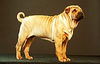Shar Pei _ standing _ cut out