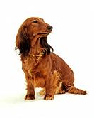 long_haired dachshund _ sitting _ cut out