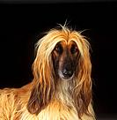 Afghan Hound _ cut out