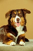 Australian Shepherd _ lying _ cut out