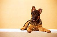 German Shepherd dog _ puppy _ cut out
