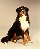 Bernese mountain dog _ sitting _ cut out