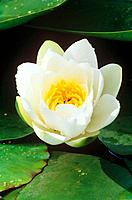 white water lily / Nymphaea