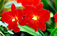 Orchid - cattleya - blossoms (thumbnail)