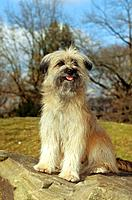 Pyrenean Shepherd _ sitting