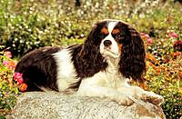 Cavalier King Charles Spaniel - lying next to flowers (thumbnail)