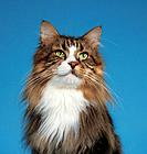 Maine Coon _ portrait