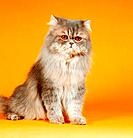 Persian cat silver_shaded _ sitting
