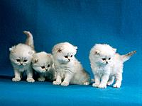 4 Persian kittens silver_shaded
