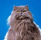 Persian cat _ portrait
