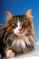 Norwegian Forest cat _ portrait