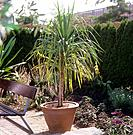 Canary Islands Dragon Tree / Dracaena draco