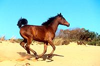 young Arabian horse _ galloping in sand