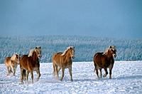 Four Haflinger in snow (thumbnail)