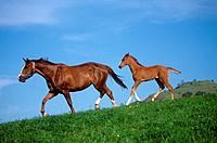 German warmblood horse with foal on meadow (thumbnail)