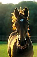 warmblood horse _ foal