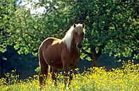 Icelandic horse - standing on meadow (thumbnail)