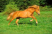 Icelandic horse _ running on meadow