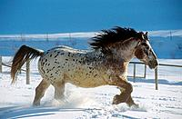 Noriker horse _ walking in snow