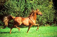 American Saddleberd _ trotting on meadow