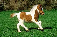Shetland pony _ foal on meadow