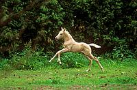 Kinsky horse _ foal on meadow