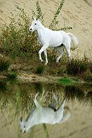 Arabian horse _ walking at the shore
