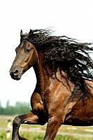 Friesian horse _ running