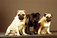 three pugs _ cut out