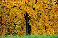maple tree _ autumn