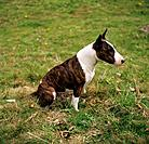 Bull Terrier _ sitting on meadow