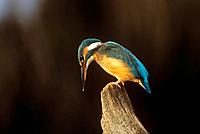 kingfisher _ on branch / Alcedo atthis