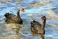 two black swans _ in water / Cygnus atratus