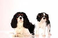 Cavalier King Charles Spaniel and puppy _ cut out