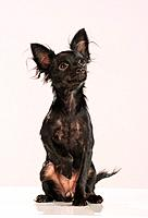 Russian Toy Terrier _ sitting _ cut out