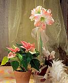 Belladonna Lily and poinsettia