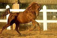 Arabian horse _ running