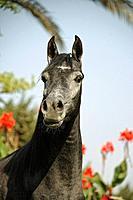 Arabian horse _ portrait