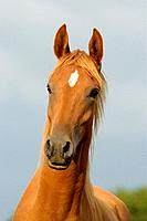 young Arabian horse _ portrait