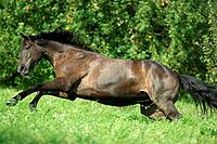 hessian warmblood _ galloping on meadow