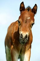 welsh pony foal _ portrait