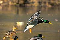 mallard drake _ flying / Anas platyrhynchos